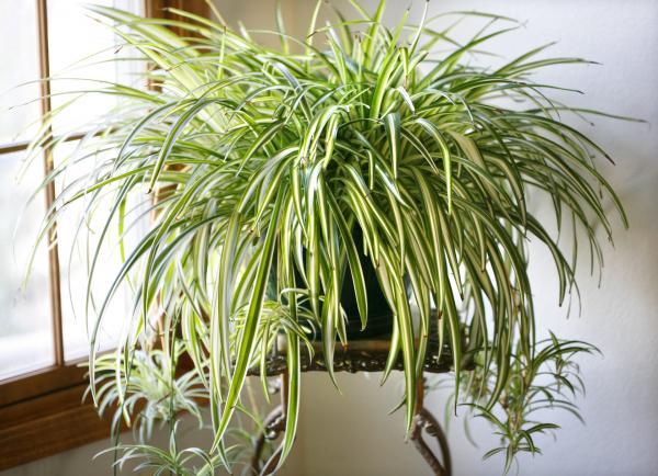 clorofito reduz humidade